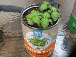 Day 14 - 7/31/15 Organic Basil
