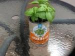 Day 21 - 8/07/15 Organic Basil