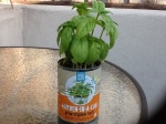 Day 30 - 8/16/15 Organic Basil
