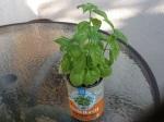 Day 37 - 8/23/15 Organic Basil