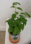 Day 41 - 8/27/15 Organic Basil