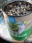 Day 9 - 7/26/15 Organic Cilantro - see the small little shoot to the right with the seed pod on top